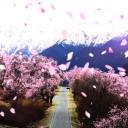 林芝桃花节最佳观赏地点推荐以及赏花路线介绍