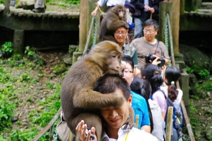 峨眉山猴子12
