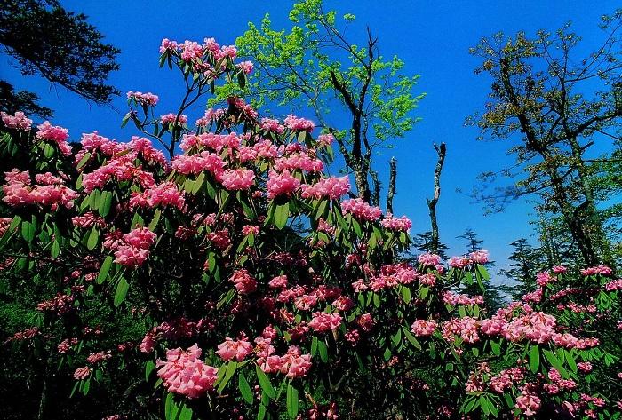 峨眉山红杜鹃花