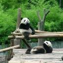 成都熊猫基地之行
