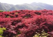 【什邡红枫岭一日游】醉秋红枫岭,一半青山一半红