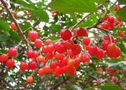 【蒲江樱桃山休闲采摘1日游】正是樱桃红透时  满山果香等你来采 相约蒲江樱桃山