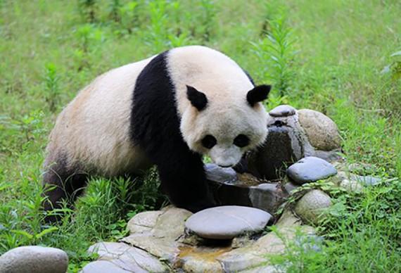 三星堆博物馆、熊猫基地1日游