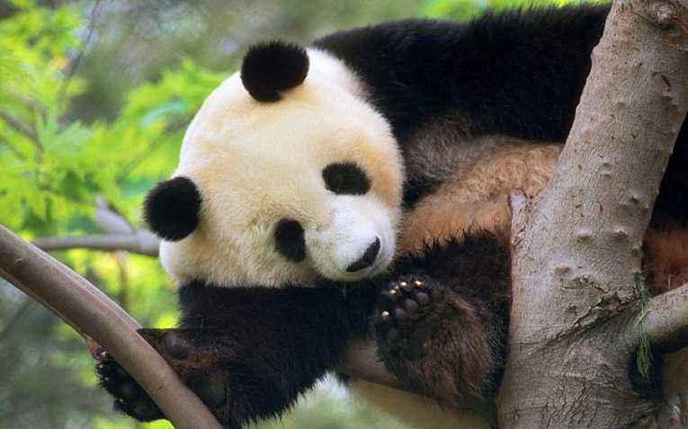 熊猫 (2)
