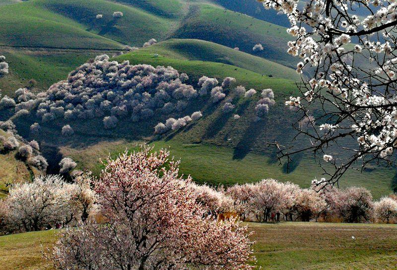 杏花漫山遍野