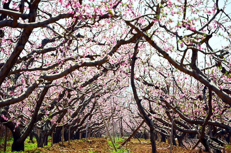 峨眉山春季看花