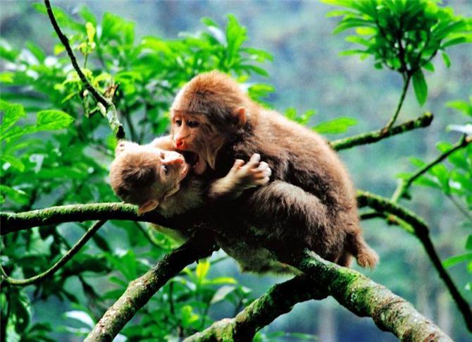 峨眉山旅游如何巧避灵猴骚扰