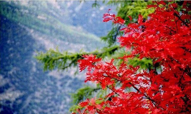 稻城亚丁哪里看红叶
