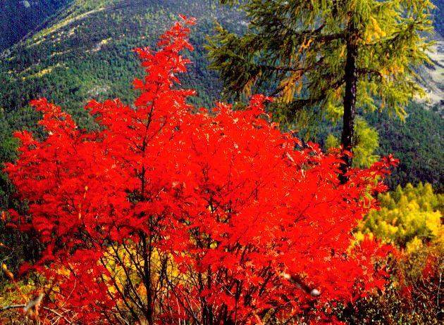 稻城亚丁几月可以看红叶?