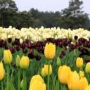 石象湖郁金香节 又到赏花时