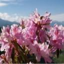 西藏林芝桃花节行程