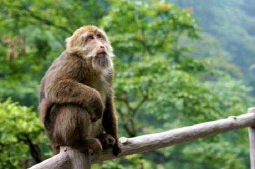 峨眉山猴子4