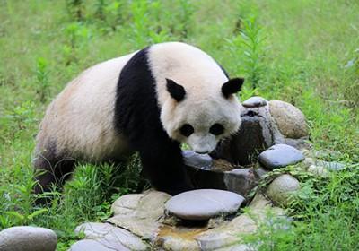 成都到熊猫基地怎么走?