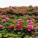 彭州牡丹花会